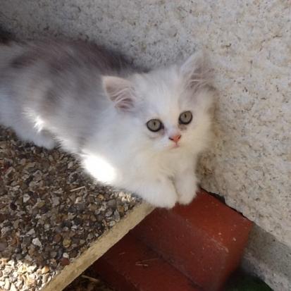 Donne chaton cher 18 gratuit sur - Chaton persan gratuit ...