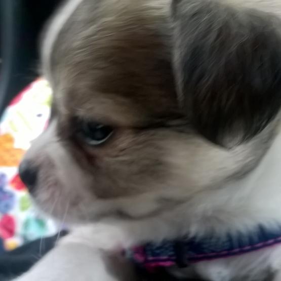 Cherche Chiot Chihuahua Poil Long A Donner Saone Et Loire 71 Gratuit Sur Animoz Net