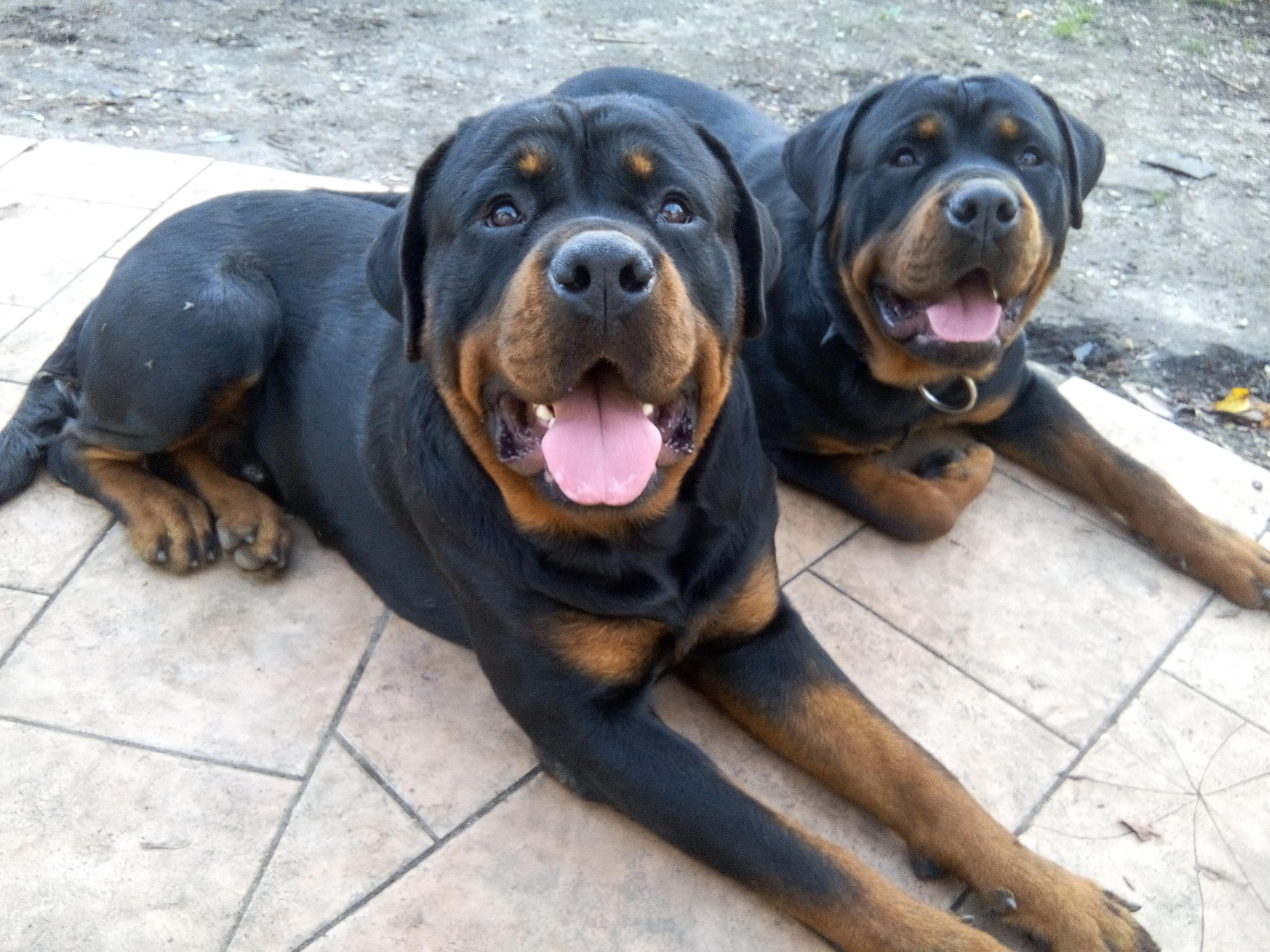 Donne 2 Rottweiler Lof Males Gironde 33 Gratuit Sur Animoz Net