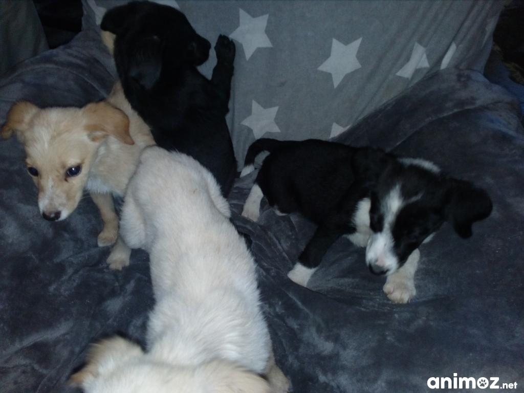 Chiots Labradors A Donner Contre Bon Soin Hautes Pyrenees 65 Gratuit Sur Animoz Net