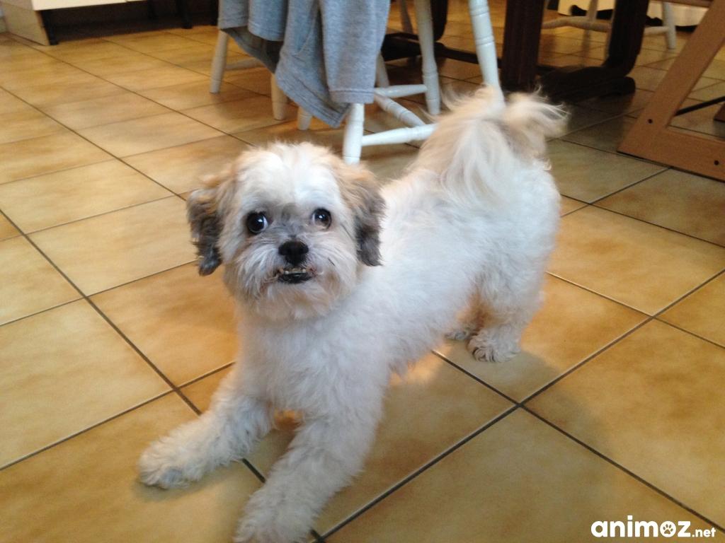 Vends petit chien shitzu crois sa ne et loire 71 gratuit sur - Petit chien gratuit ...