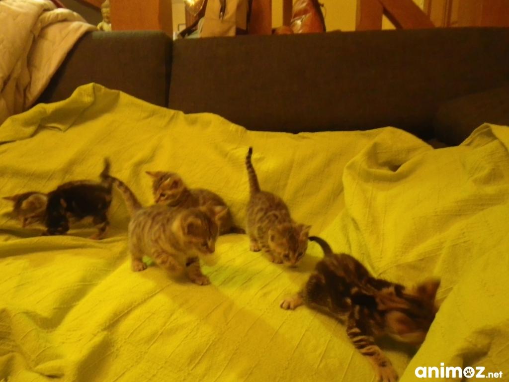 Donne chatons crois s bengal snow somme 80 gratuit sur - Chaton bengal gratuit ...
