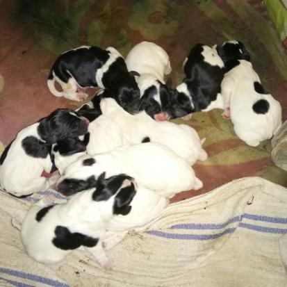 Donne chiots gers 32 gratuit sur - Chiot beagle gratuit ...