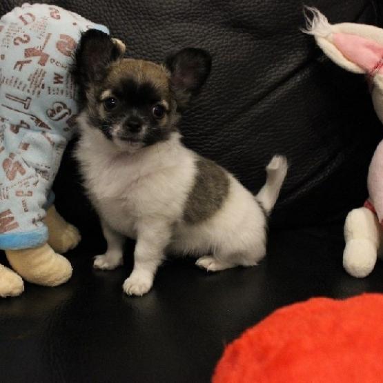 Chiot Type Chihuahua Femelle Non Lof A Donner Nord 59 Gratuit Sur Animoz Net
