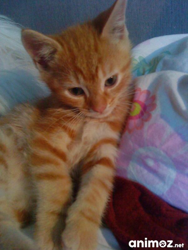 Cherche un chaton roux alpes maritimes 06 gratuit sur - Jeux de petit chaton gratuit ...