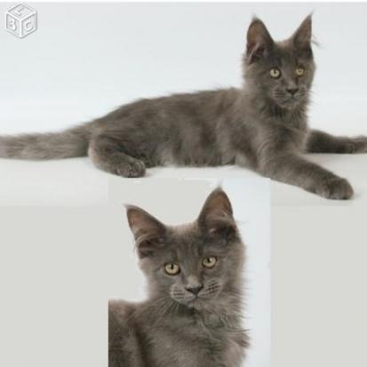 chaton persan femelle seine maritime 76 gratuit sur. Black Bedroom Furniture Sets. Home Design Ideas