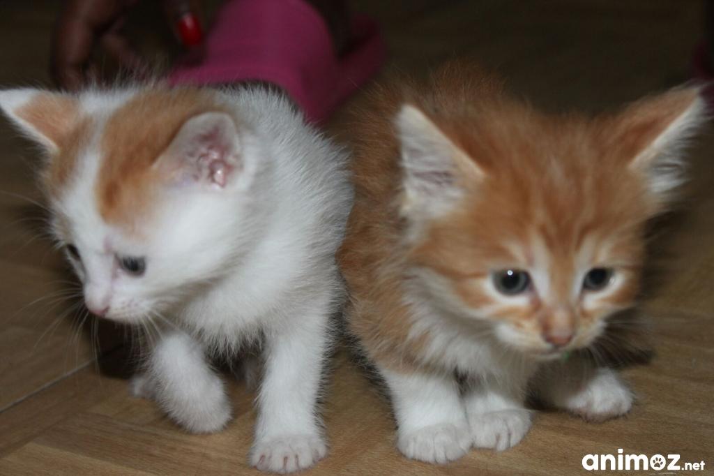 Donne chatons roux et blanc seine et marne 77 gratuit sur - Chatons gratuit ...