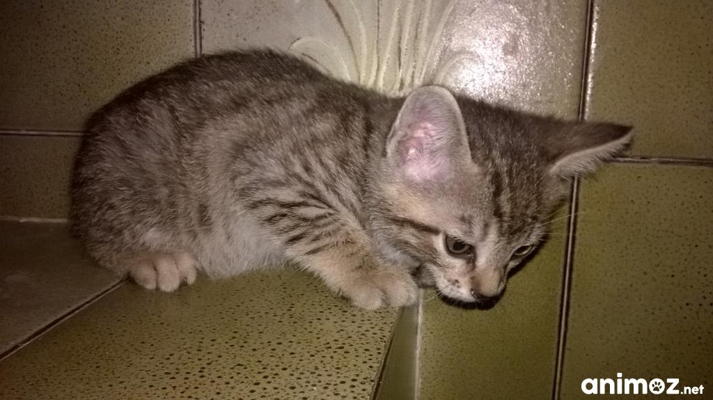 Donne petit chaton femelle ard che 07 gratuit sur - Petit chaton gratuit ...