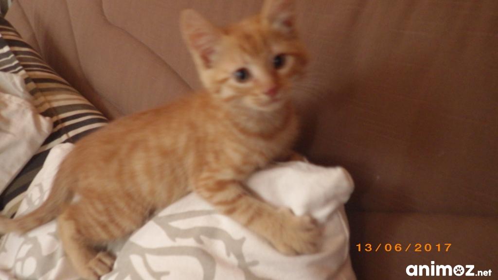 Donne un chaton roux moselle 57 gratuit sur - Un chat gratuit ...
