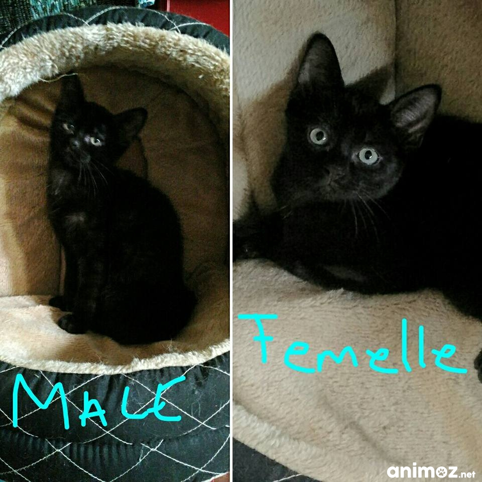Chatons A Adopter Yvelines 78 Gratuit Sur Animoz Net