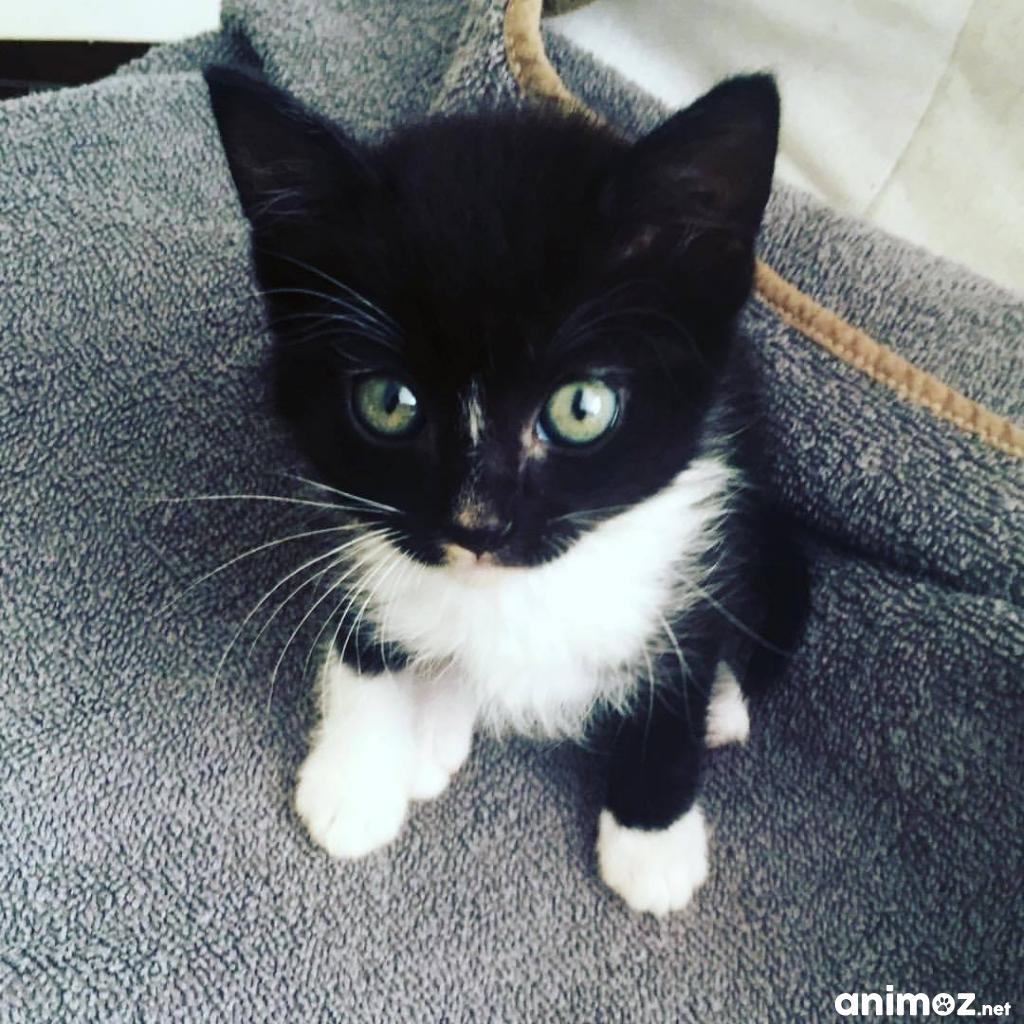 Donne 3 petit chaton noir un blanc landes 40 gratuit - Petit chaton gratuit ...