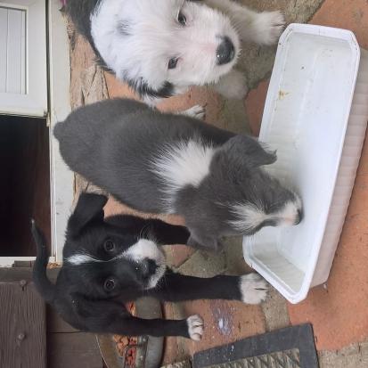 Cherche chiot beagle gers 32 gratuit sur - Chiot beagle gratuit ...