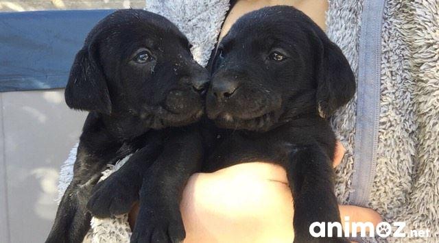 A Donner Chiots Type Labrador Vaucluse 84 Gratuit Sur Animoz Net