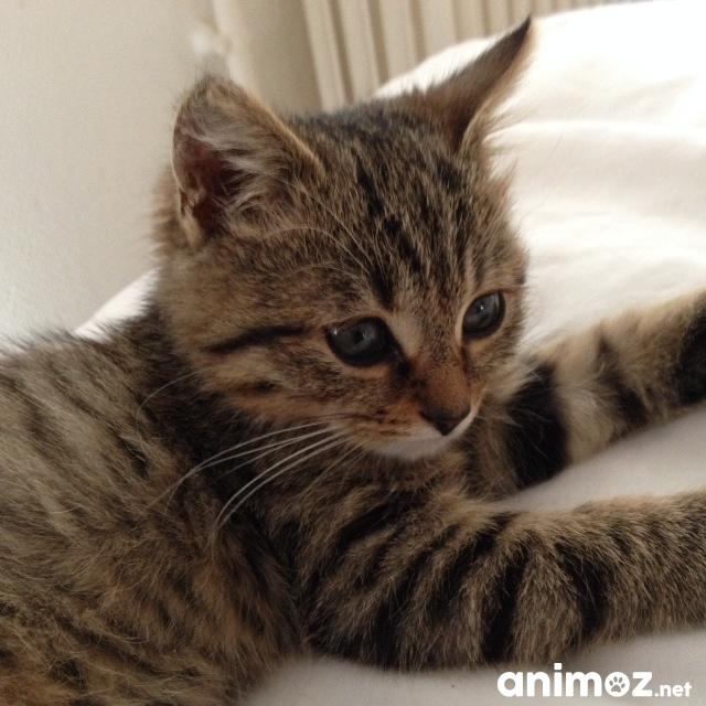 Donne Chaton Tigre Femelle 4 Mois Yvelines 78 Gratuit Sur Animoz Net