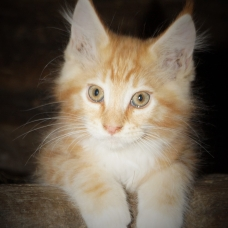 Image pour l'annonce maine coon chatons