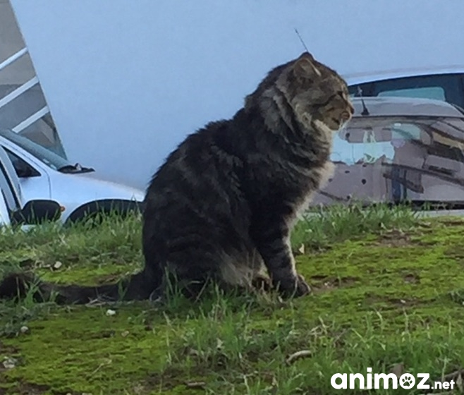 Chat Adulte Tigre Poil Long A Adopter Sur Marseille Bouches Du Rhone 13 Gratuit Sur Animoz Net