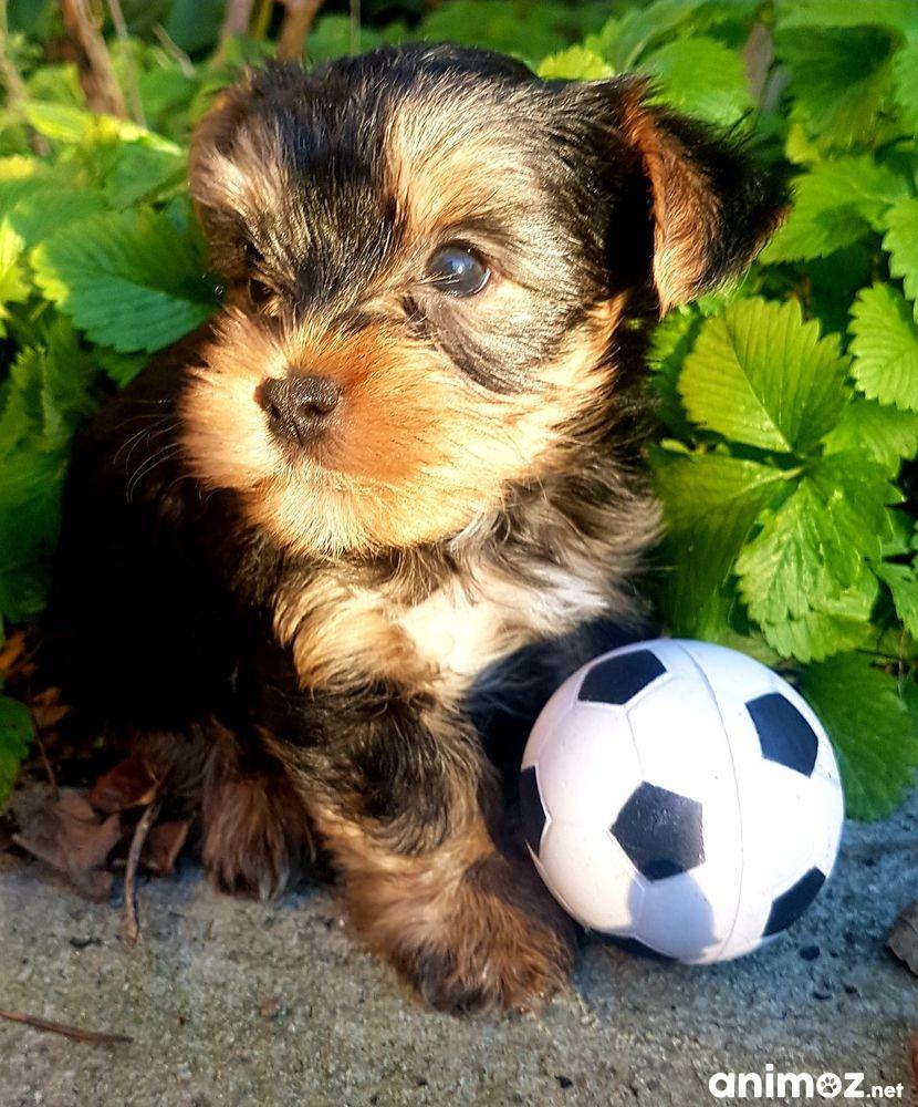 Donne Yorkshire Terrier Herault 34 Gratuit Sur Animoz Net