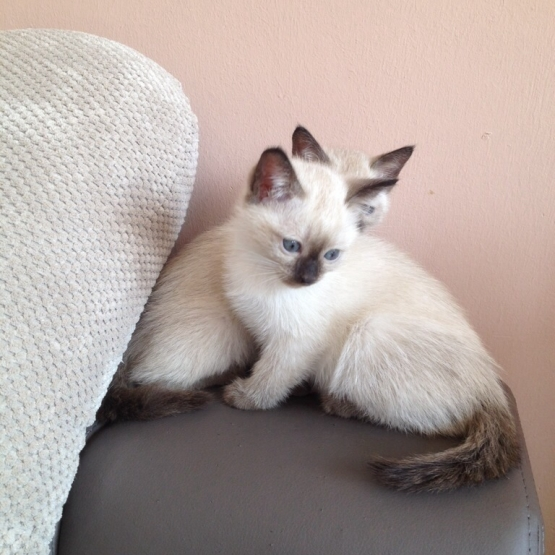 2 Chatons Siamois A Reserver Nord 59 Sur Animoz Net