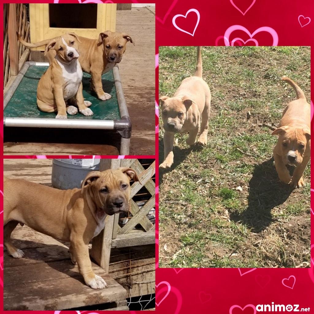 Superbes Chiots Amstaff American Staffordshire Terrier Moselle 57 Gratuit Sur Animoz Net