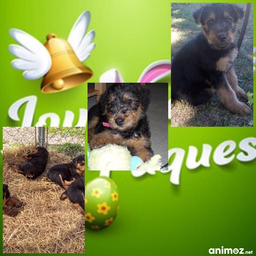 Chiots Males Et Femelle Airedales Terrier A Donner Nord 59 Gratuit Sur Animoz Net