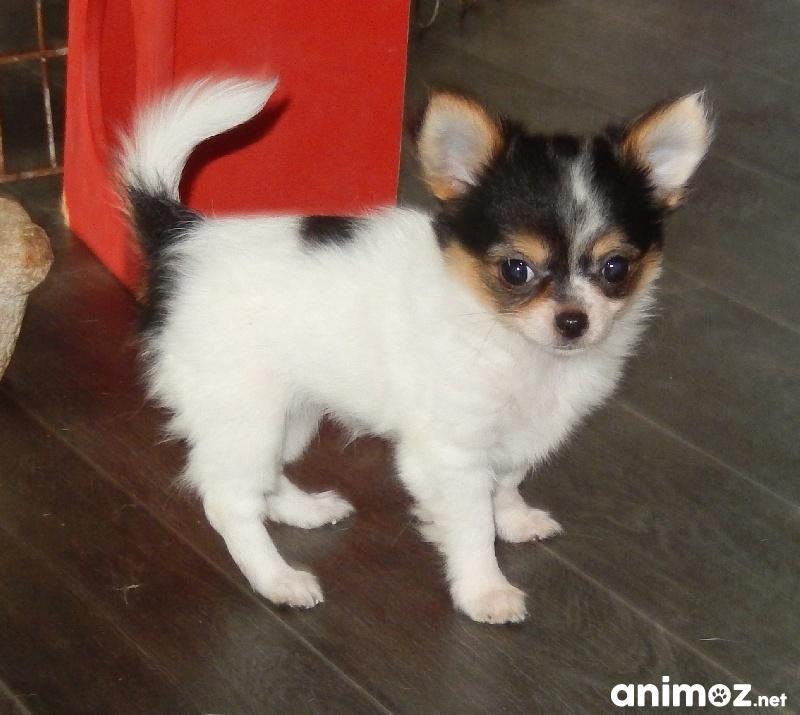 Adorable Chiot Chihuahua Femelle A Donner Saone Et Loire 71 Gratuit Sur Animoz Net
