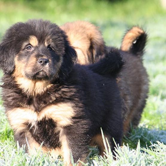 Exceptionnel Chiots Dogue Du Tibet Tarn Et Garonne 82 Gratuit Sur Animoz Net